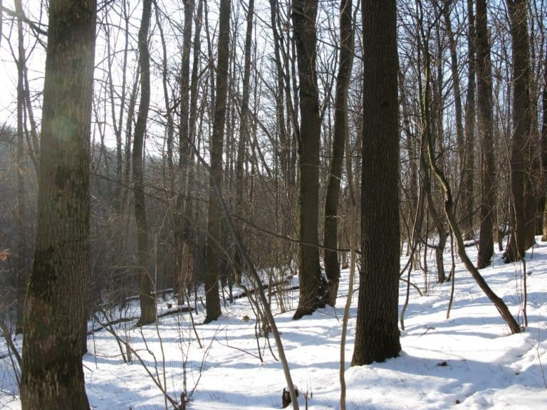 Trees in a forest with snow on the ground.