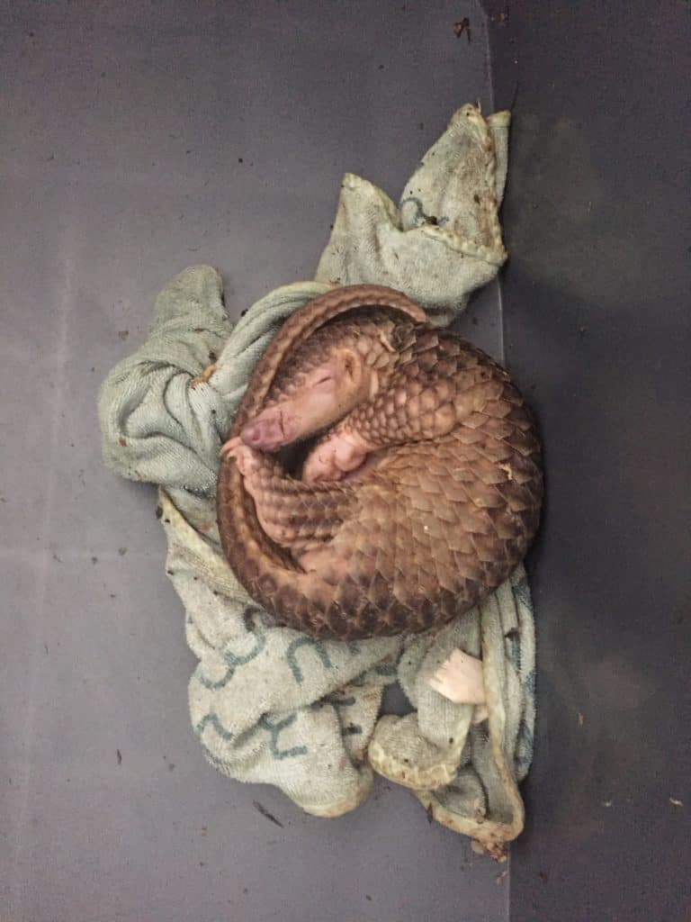 A small animal with a long tail and brown scales curls up on a towel.