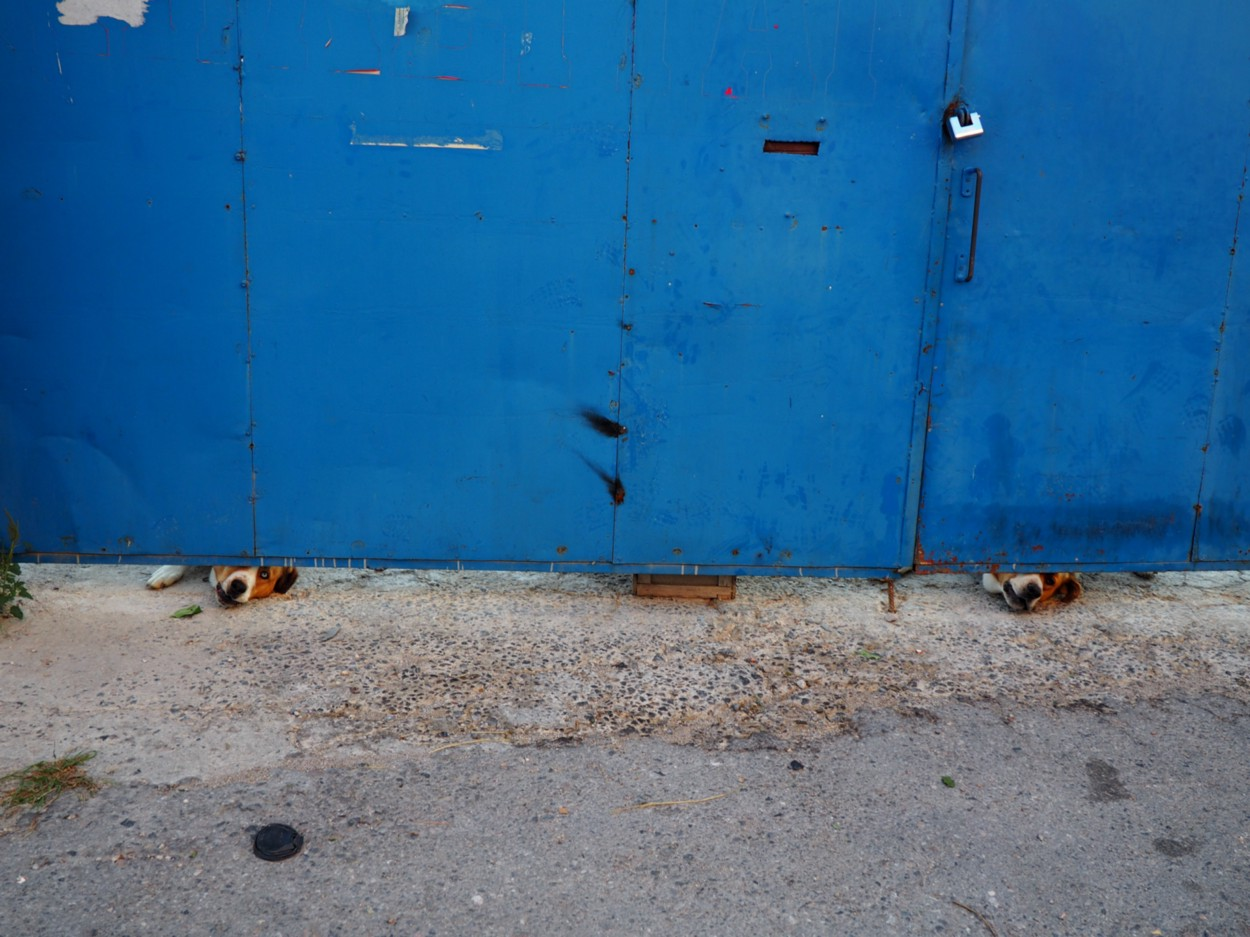 Two dogs look under blue fence