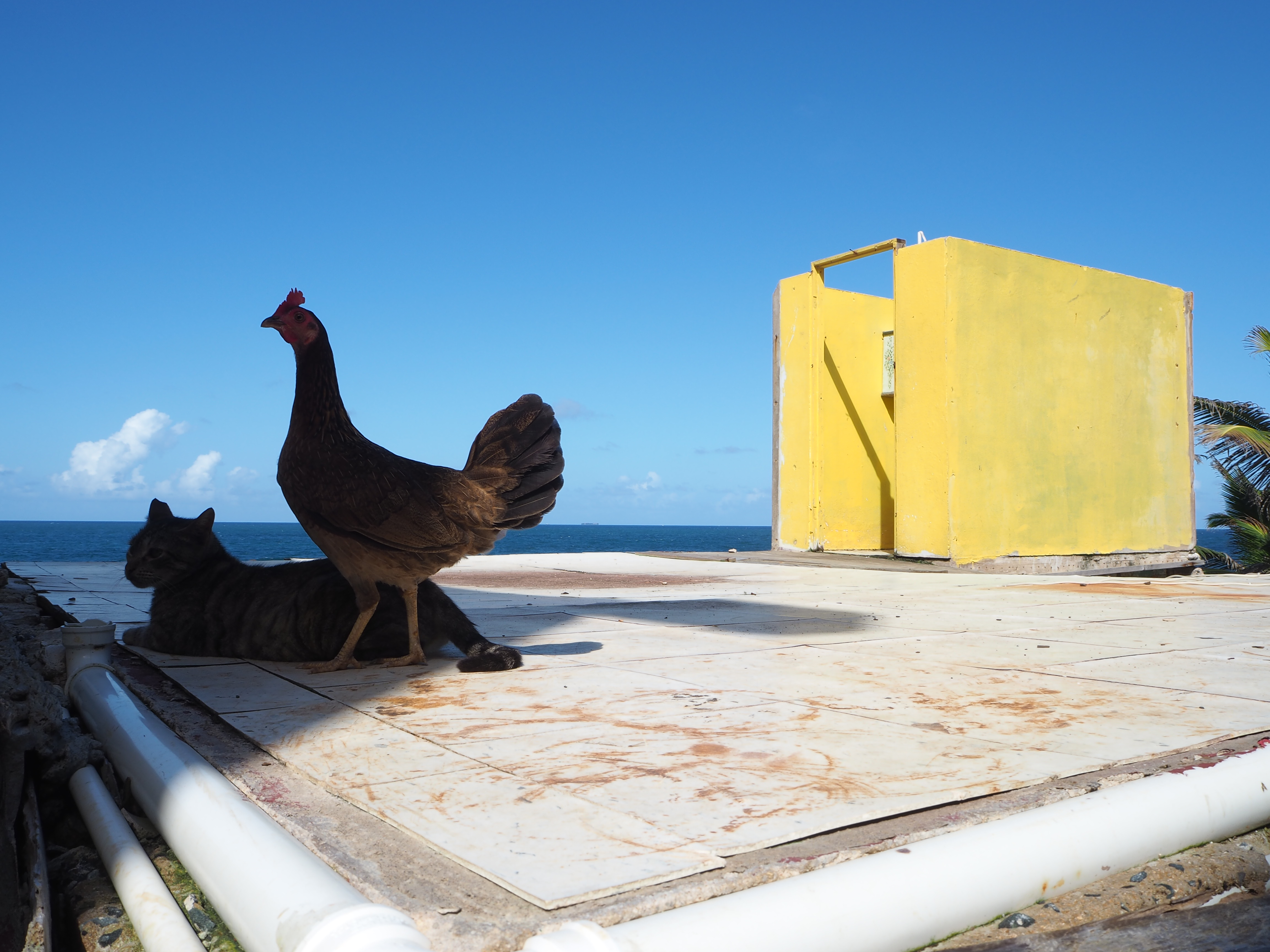 A chicken and a cat sit on a concrete slab; some walls stand behind them