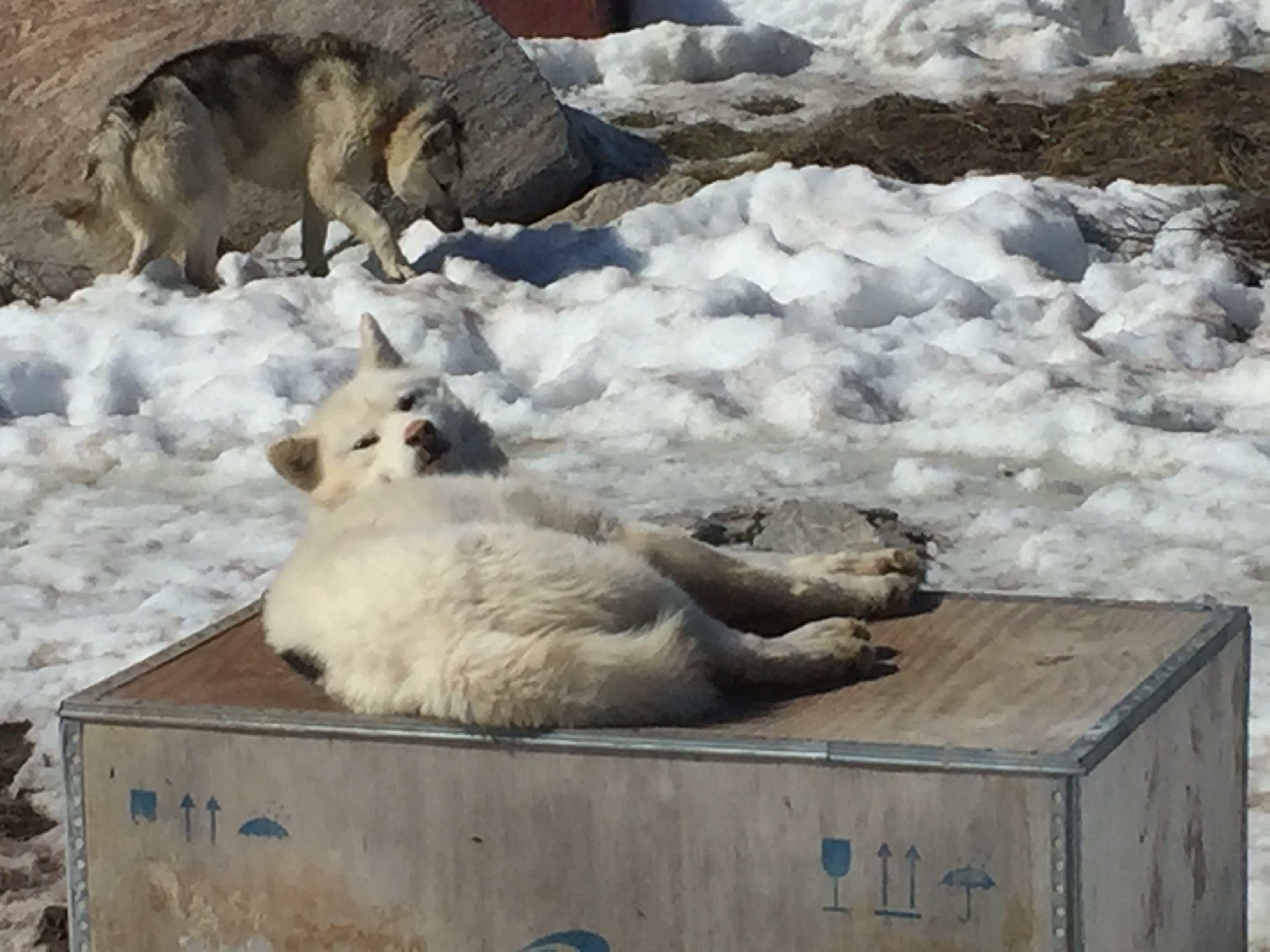 A huskie dog lies down on a wooden box