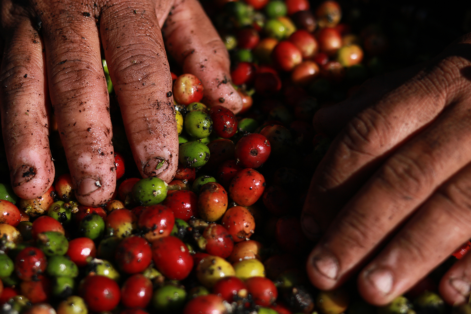 Hands are placed on top of a pile of red coffee beans