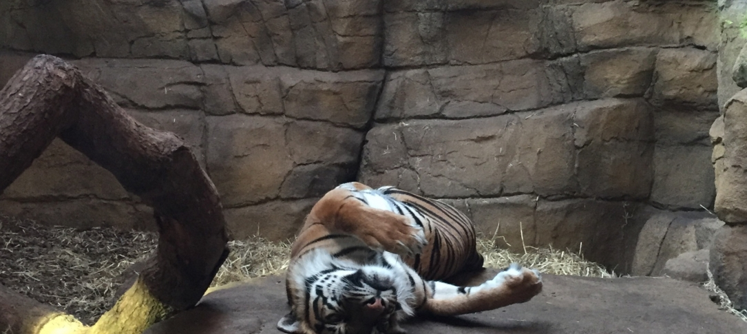 Two tigers relax on boulders at a zoo