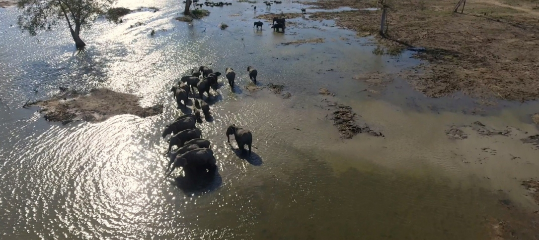 A herd of elephants drinks water from a pond